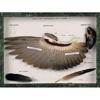 Wings and feathers of a dove (Columba palumbus)