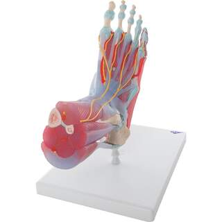 Foot with muscles, blood vessels, nerves, ligaments in six parts