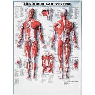 Muscular System 3D - Anatomy poster