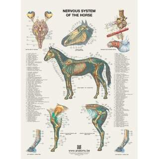 The horse's nervous system poster 60x80 cm