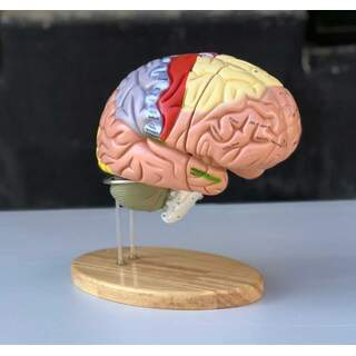 Large educational brain model with colors, names and in 5 parts on the stand