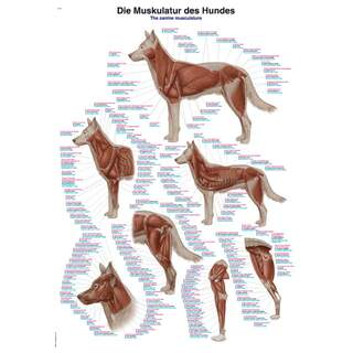 The dog's muscles 70x100 cm Poster - pure Latin, English and German nomenclature