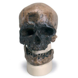 Anthropological skull - Cro-Magnon