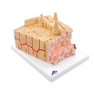 Bone tissue microscopically