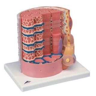 Extremely detailed model of a muscle fiber