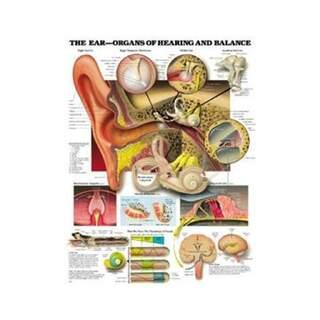 Ear anatomy, hearing and balance function laminated poster English