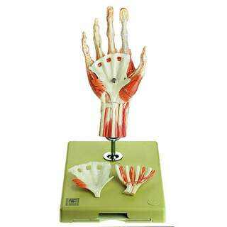 Hand muscle model with a part of the forearm, standing