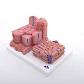 Microanatomy - Liver