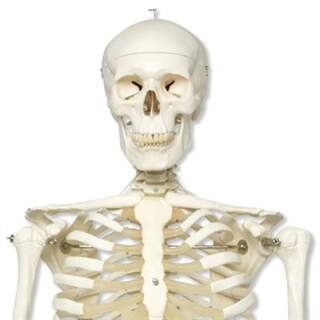 Skeleton, natural size from 3B Scientific