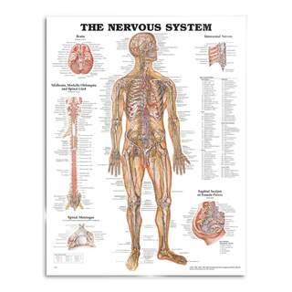 Anatomy poster - Nerves