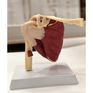 Shoulder model with muscles and ligaments