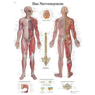The nervous system (your nervous system) laminated poster 51x67 cm pure Latin and German