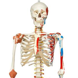 Skeletal model with moving spine, spinal nerves ligaments, etc.