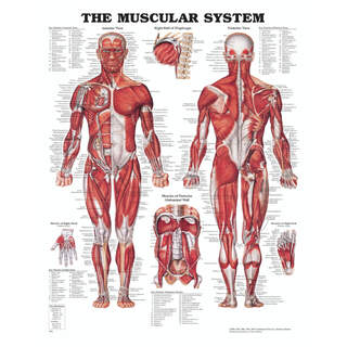 Anatomy posters - Muscles with hard plastic and holes